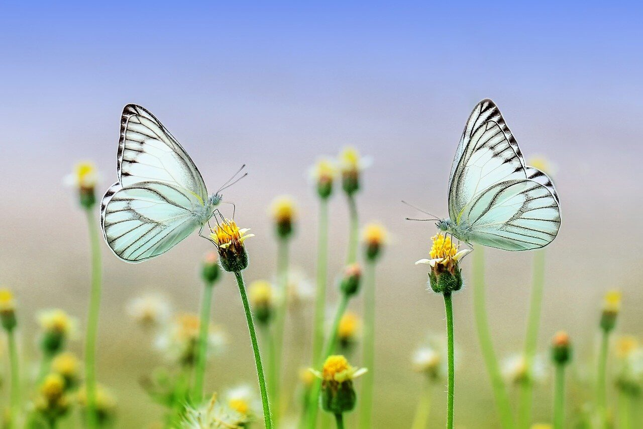 vlinder, insect, macro